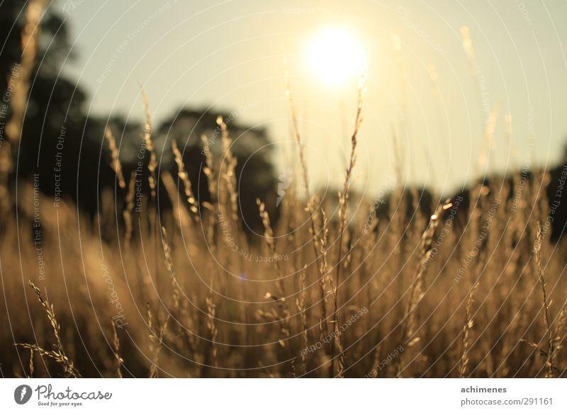 Sommerabend Natur Pflanze Sonnenaufgang Sonnenuntergang Schönes Wetter Wärme Gras Wiese Menschenleer Freundlichkeit Fröhlichkeit natürlich gelb gold