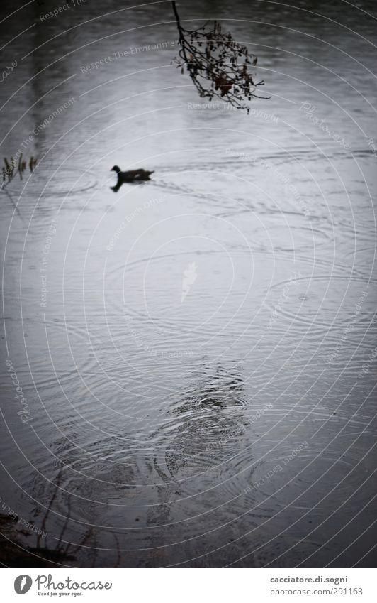 so boring at the lake Wasser Herbst schlechtes Wetter Regen Seeufer Teich Ente 1 Tier Armut bedrohlich dunkel einfach trist grau schwarz Langeweile Traurigkeit