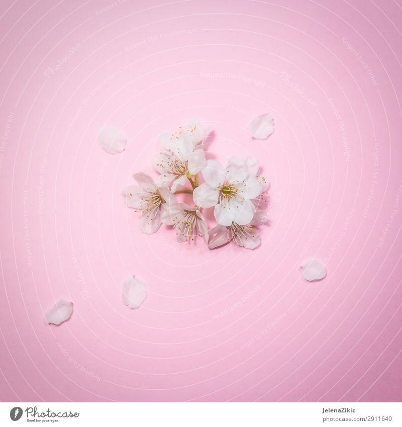 Natur Sommer Pflanze schön weiß Baum Blume Blüte Frühling natürlich Textfreiraum rosa Design Dekoration & Verzierung hell frisch