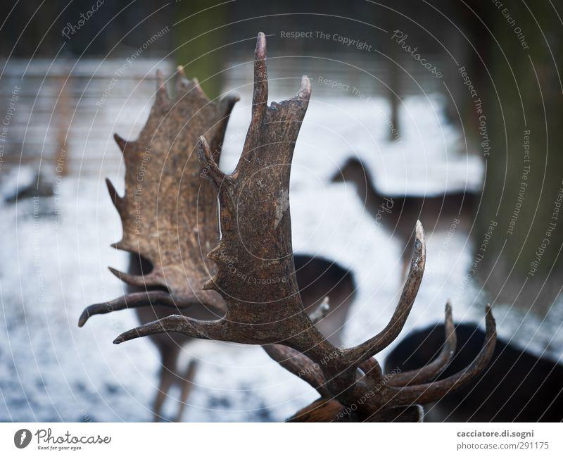 at the animal park Winter Schnee Wald Wildtier Hirsche Tiergruppe Horn außergewöhnlich dunkel gigantisch einzigartig natürlich oben Spitze braun Tapferkeit