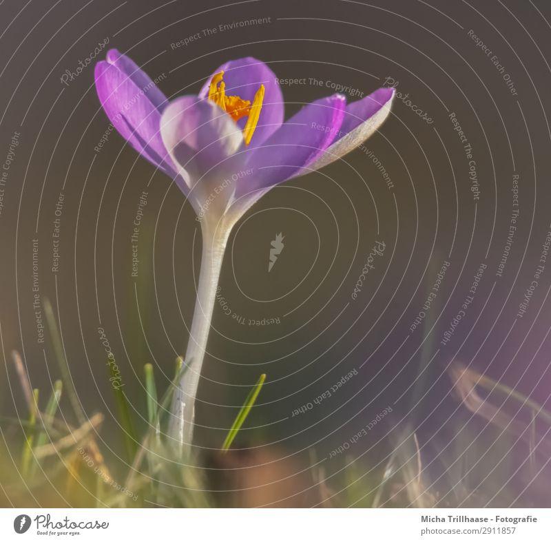 Krokus im Sonnenlicht Natur Pflanze Farbe grün Blume gelb Blüte Frühling natürlich Wiese Gras klein orange leuchten glänzend