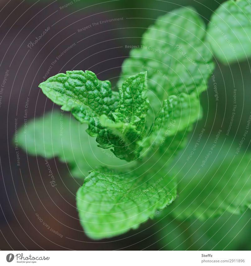 frische Minze Lebensmittel Kräuter & Gewürze Tee Kräutertee Pfefferminztee Natur Pflanze Frühling Sommer Blatt Nutzpflanze Minzeblatt Heilpflanzen