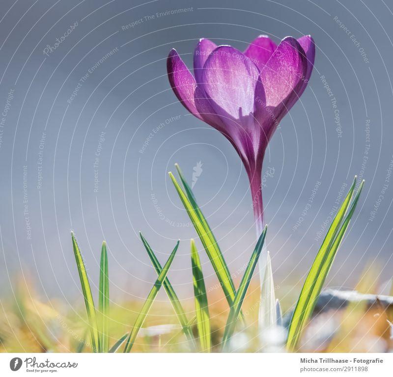 Krokus in der Frühlingssonne Himmel Natur Pflanze blau grün Blume gelb natürlich Wiese Gras orange leuchten glänzend Wachstum ästhetisch
