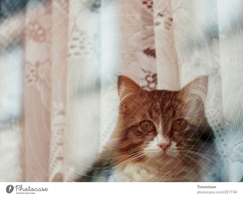 Fensterkatze. Katze Tier Gefühle beobachten Tiergesicht Haustier Vorhang Fensterscheibe achtsam Ruhe bewahren