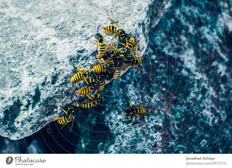 Nahaufnahme mehrerer Wespen auf einem Stein Natur blau Tier schwarz gelb kalt gefährlich bedrohlich Insekt Schottland Schwarm Großbritannien stechen