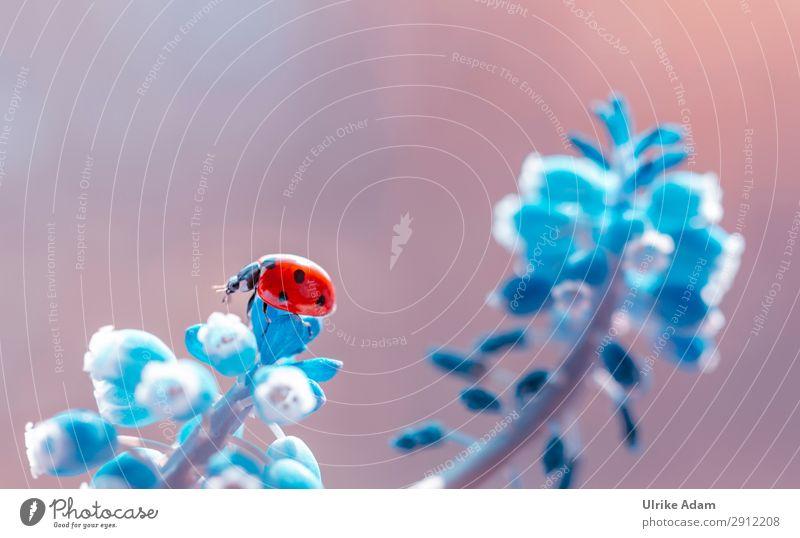 Marienkäfer Postkarte Geburtstag Natur Pflanze Tier Frühling Blume Blüte Traubenhyazinthe Garten Käfer Insekt 1 krabbeln leuchten natürlich blau rot Glück