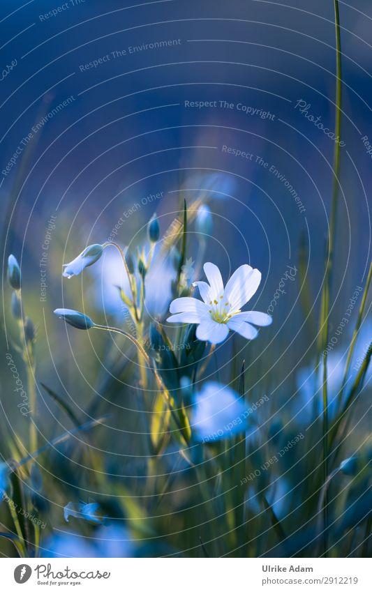 Sternmiere im Abendlicht - Natur Wellness harmonisch Wohlgefühl Zufriedenheit Erholung ruhig Meditation Spa Tapete Buchcover Postkarte Feste & Feiern Pflanze