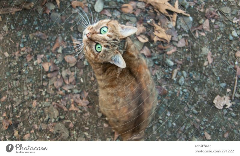 Lass fallen! Katze Tier Tierjunges Bodenbelag Tiergesicht Jagd Haustier Wachsamkeit Hauskatze Nervosität Futter Schnurrhaar fixieren Tigerfellmuster verrenken