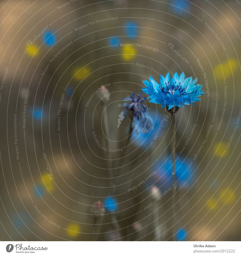 Kornblume Design Wellness Erholung ruhig Meditation Spa Dekoration & Verzierung Tapete Feste & Feiern Natur Pflanze Frühling Sommer Blume Blüte Garten Feld