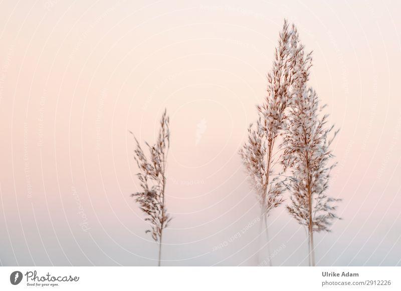 Reedgras Natur Pflanze Erholung ruhig Winter Leben Herbst Blüte Traurigkeit Gras orange braun Stimmung träumen Nebel Hoffnung