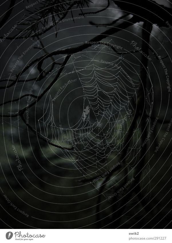 Netzbetreiber Umwelt Natur Landschaft Pflanze Tier Wassertropfen Baum Zweige u. Äste Wald Spinnennetz Spinngewebe Bewegung hängen dunkel elegant frei nah