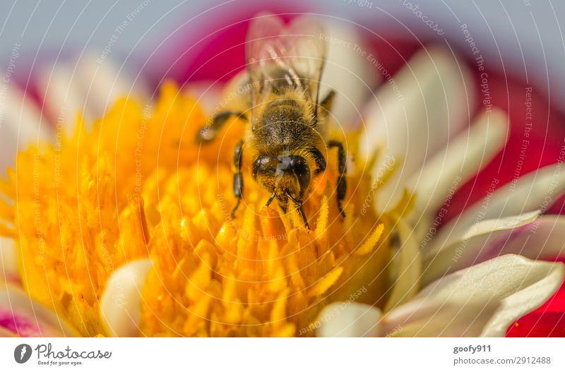 Arbeitstier II Ausflug Expedition Umwelt Natur Pflanze Tier Sonnenlicht Frühling Sommer Blume Blüte Garten Park Wiese Nutztier Wildtier Biene Tiergesicht Flügel