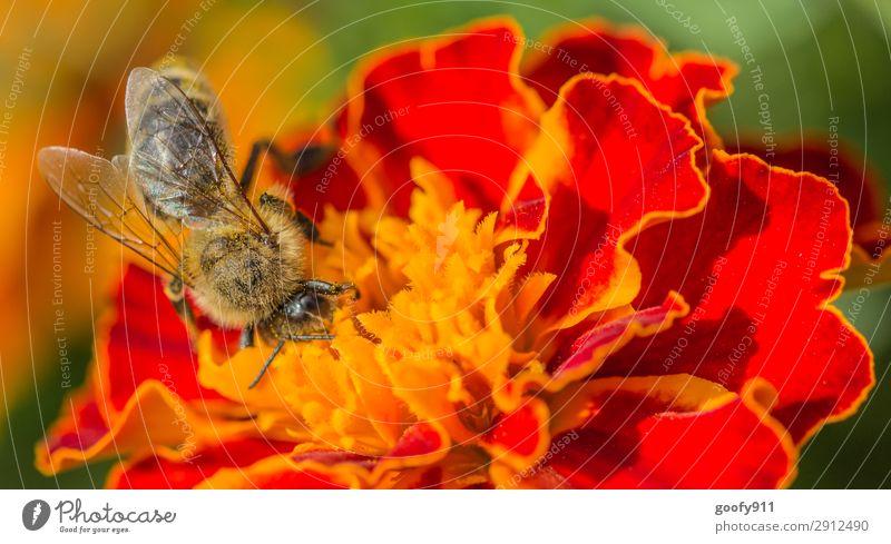 Fleißiges Bienchen IV Ausflug Sommer Sonne Umwelt Natur Pflanze Tier Sonnenlicht Frühling Schönes Wetter Blume Blatt Blüte Garten Park Wiese Nutztier Wildtier