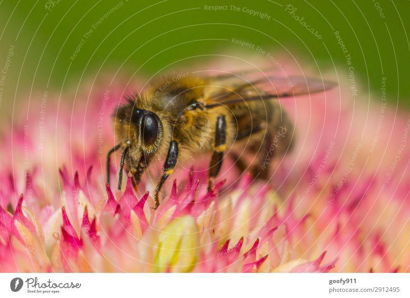 Honigbiene Ausflug Expedition Umwelt Natur Pflanze Tier Sonnenlicht Frühling Sommer Blume Blüte Garten Park Wiese Nutztier Wildtier Biene Tiergesicht Flügel