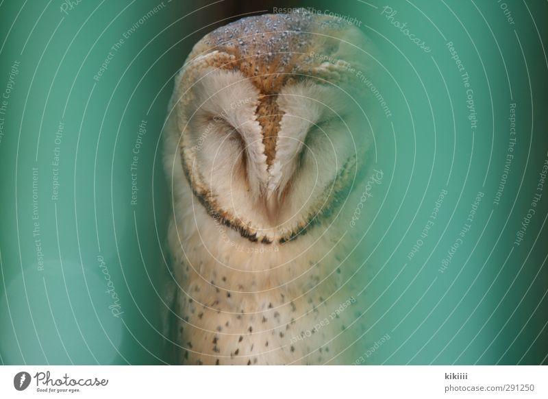 Müde Eulenvögel Gitter gefangen schlafen grün türkis Feder Auge geschlossen warten sitzen Zoo gesprenkelt Uhu Schwache Tiefenschärfe Unschärfe