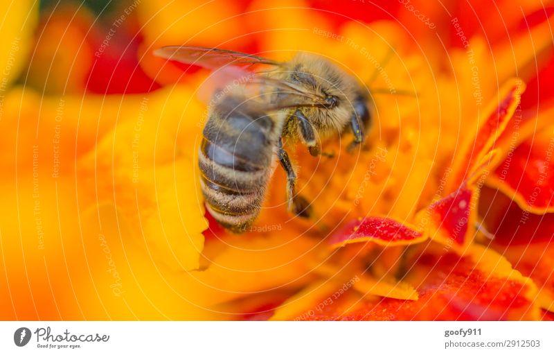 Fleißiges Bienchen III Natur Sommer Pflanze Blume Tier Umwelt Blüte Frühling Wiese Garten Arbeit & Erwerbstätigkeit Ausflug Park Wildtier Blühend entdecken
