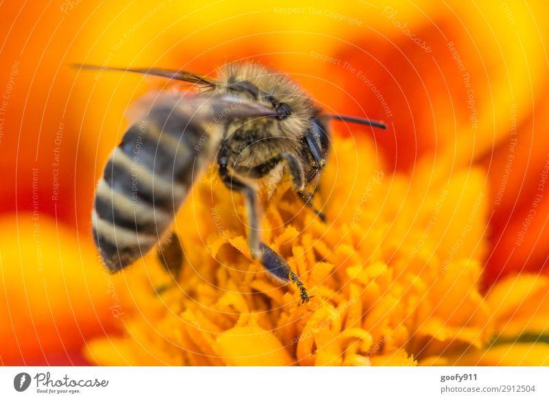 Fleißiges Bienchen Ausflug Abenteuer Umwelt Natur Pflanze Sonne Sonnenlicht Frühling Sommer Blume Blüte Garten Park Wiese Tier Nutztier Wildtier Biene