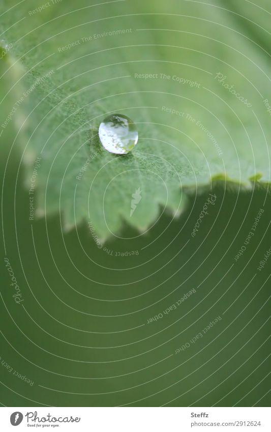 Ein Tropfen... Umwelt Natur Pflanze Wasser Wassertropfen Frühling Sommer Blatt Frauenmantel Frauenmantelblatt Blattadern Heilpflanzen Garten klein natürlich