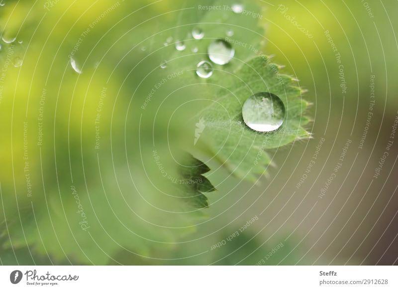 nach dem Regen Umwelt Natur Pflanze Wassertropfen Frühling Sommer Wetter Blatt Grünpflanze Nutzpflanze Frauenmantel Frauenmantelblatt Gartenpflanzen