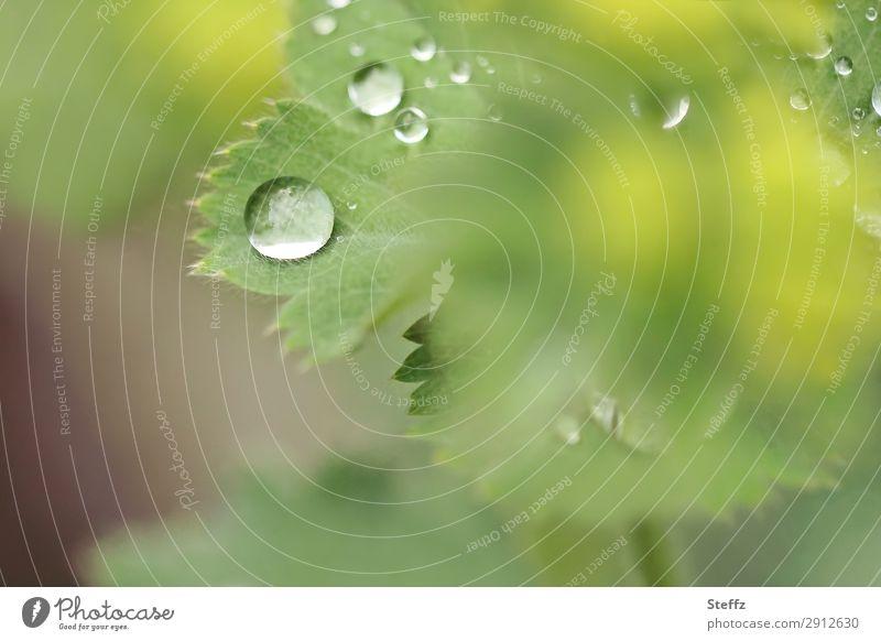 Gartentropfen Umwelt Natur Pflanze Wassertropfen Frühling Sommer Wetter Regen Blatt Grünpflanze Nutzpflanze Frauenmantel Frauenmantelblatt Heilpflanzen