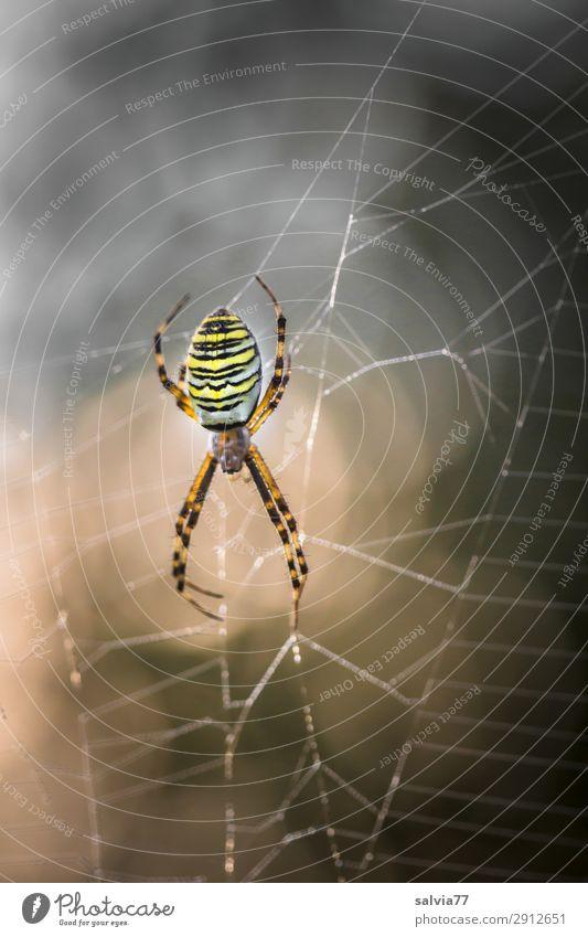 Wespenspinne Natur Tier dunkel außergewöhnlich Wildtier warten beobachten bedrohlich planen Netz Wachsamkeit Jagd Surrealismus Erwartung Spinne Überwachung