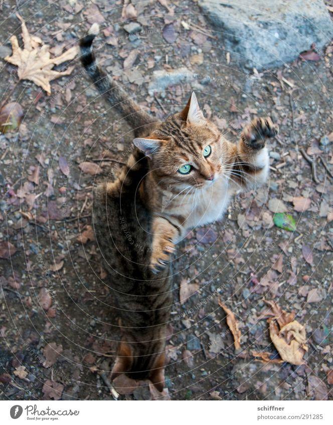 Her damit! Tier Haustier Wildtier Katze Tiergesicht Krallen Pfote 2 Tierpaar Jagd Blick Tigerkatze Tigerfellmuster Tierjunges Vogelperspektive fangen kratzen