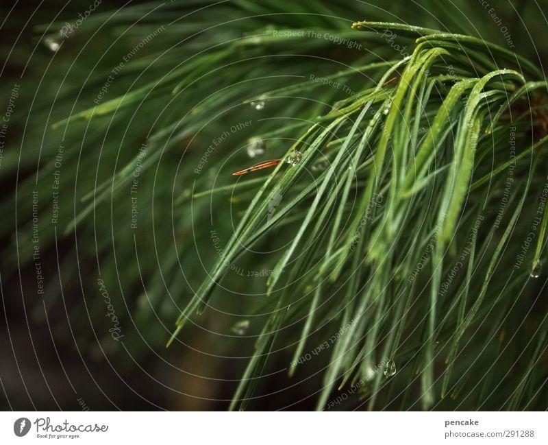 pine Natur Pflanze Urelemente Baum Wald nachhaltig grün Verlässlichkeit rein Wellness Kiefer Kiefernnadeln Tropfen wohltätig Schwimmen & Baden ölig Gesundheit