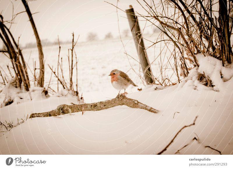schön Tier Umwelt Schnee Vogel Baumstamm Schnabel Gletscher Schneelandschaft Geäst Zweige u. Äste feuchtkalt Unschärfe