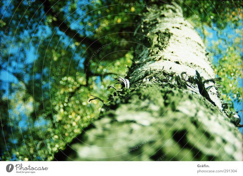 [wpt HH 10.12] Früher Frühling - später Herbst Pflanze Baum Blatt Wald Wachstum gigantisch blau grau grün Kraft ruhig Natur Umwelt Umweltschutz Baumstamm