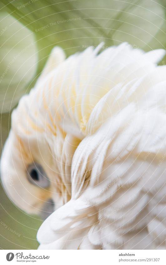 Kakadu Tier Vogel Tiergesicht Flügel Zoo 1 Denken Erholung Blick elegant exotisch schön kuschlig Wärme weich gelb grün weiß Verschwiegenheit Warmherzigkeit