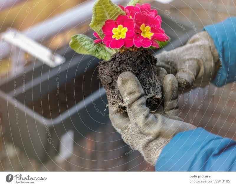 Primelgewächse mit Handschuhen gehalten Lifestyle Freizeit & Hobby Umwelt Natur Frühling Sommer Klimawandel Dorf Kleinstadt Stadtrand Balkon Terrasse Garten