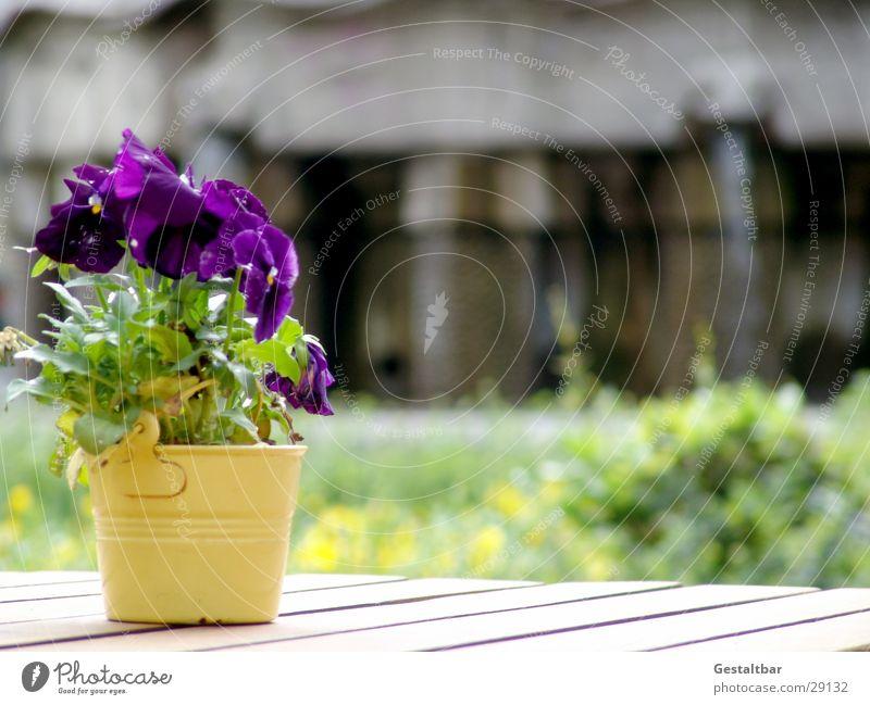 Stiefmutter Sonne Blüte violett Dekoration & Verzierung Gastronomie Café Blumentopf gestaltbar Holztisch Stiefmütterchen