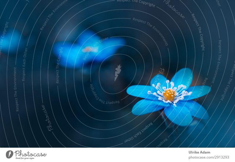 Leberblümchen ( Hepatica nobilis ) Natur Pflanze blau Blume Erholung ruhig dunkel Blüte Frühling Traurigkeit Stil Garten Design Zufriedenheit elegant Blühend