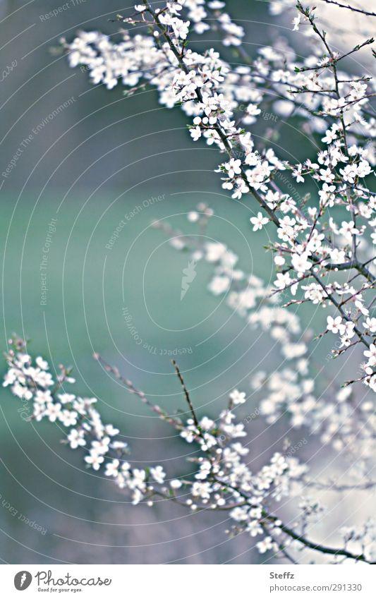 Vorahnung und Vorfreude Kirschblüten Vorfrühling Frühling Blühend frisch hell schön neu Intuition Hoffnung dezent weiß Frühlingsstimmung Optimismus Frühlingstag