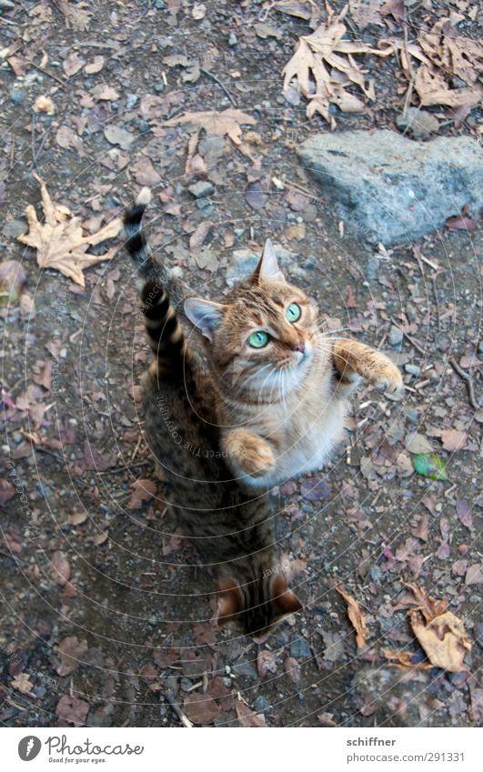 Biddööö! Tier Haustier Wildtier Katze Tiergesicht Krallen Pfote 2 Tierpaar frech betteln Jagd Blick Tigerfellmuster Tigerkatze Tierjunges Futter Wunsch Gier