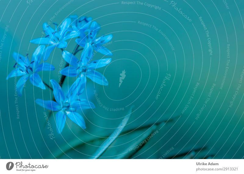Blausterne (Scilla) Wellness harmonisch Zufriedenheit Erholung Ostern Geburtstag Natur Pflanze Frühling Blume Blüte Blühend frisch schön wild blau natürlich
