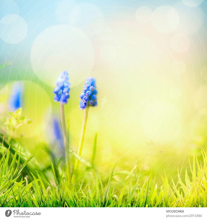 Frühlingsnatur Hintergrund mit wilden Hyazinthen Lifestyle Design Sommer Garten Natur Pflanze Schönes Wetter Blume Blüte Wiese blau gelb hyacinth grass sky