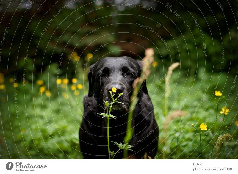 Schnüffelnase Hund grün Sommer Blume Tier schwarz gelb Wiese Gras Blüte Garten Sträucher Blühend entdecken Haustier Duft