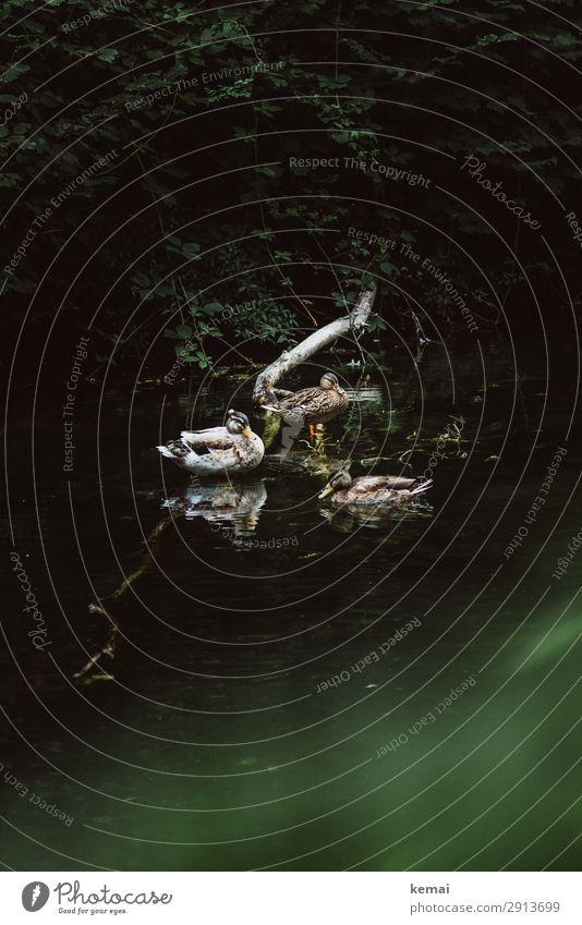 Drei Enten harmonisch Wohlgefühl Zufriedenheit Sinnesorgane Erholung ruhig Ausflug Natur Landschaft Pflanze Tier Wasser Schönes Wetter Sträucher Bach Fluss