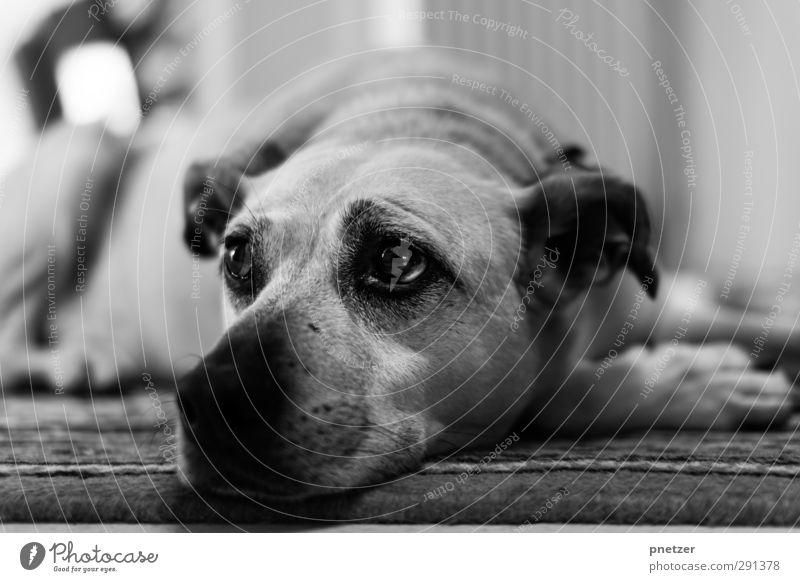 Hundeblick Tier Haustier 1 Tierjunges liegen Blick träumen Freundlichkeit Gefühle Zufriedenheit schön Ohr Auge Schnauze Kopf Pfote Labrador Mischling ruhen