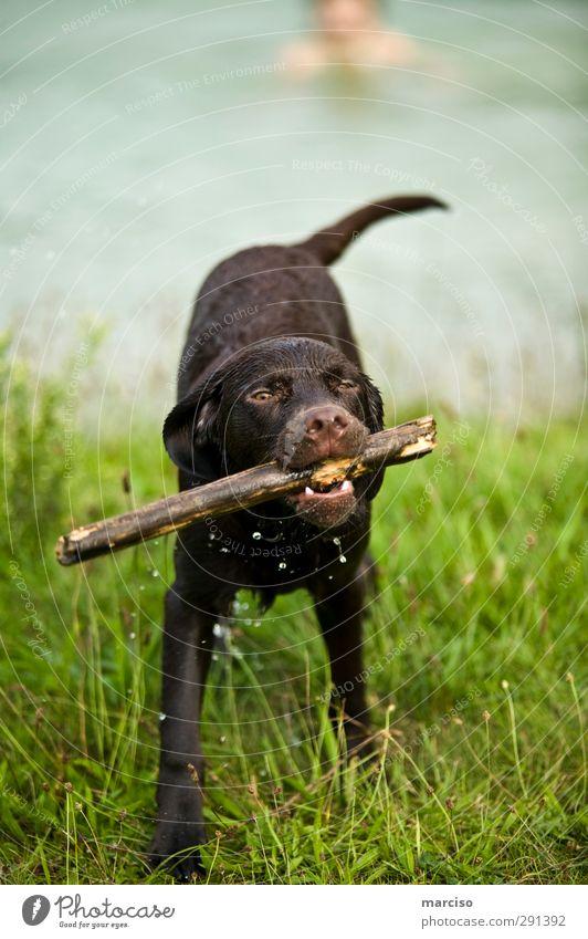 Brown Labby Hund Freude Tier Erholung Umwelt Sport Tierjunges Spielen Holz Gesundheit braun Freundschaft Kraft Freizeit & Hobby Zufriedenheit nass