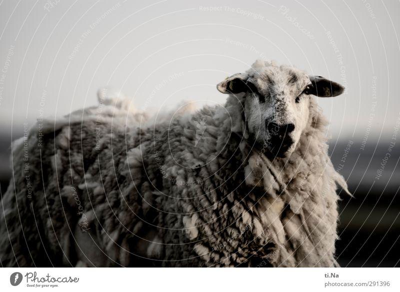 Das tut nix weiß Sommer schwarz Herbst grau Küste dreckig groß beobachten Neugier Fell Nordsee Schaf silber Nervosität Nutztier