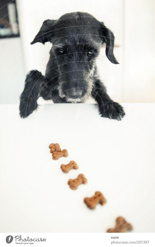 Oha ... es hat sich bewegt Hund weiß Tier schwarz lustig außergewöhnlich Fröhlichkeit Tisch niedlich Kreativität Idee Neugier Fell Tiergesicht Appetit & Hunger Konzentration