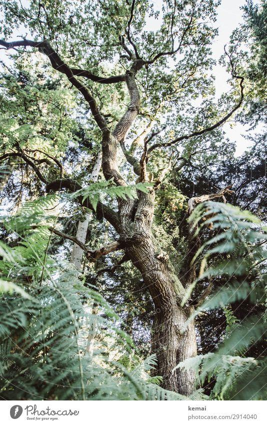 Eiche Leben harmonisch Wohlgefühl Sinnesorgane ruhig Abenteuer Natur Pflanze Sommer Schönes Wetter Baum Farn Wald Wachstum alt authentisch außergewöhnlich