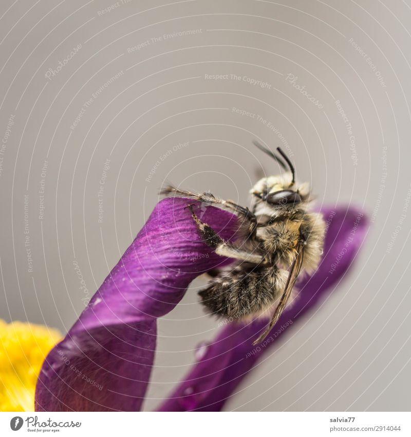 Wildbiene Umwelt Natur Frühling Pflanze Baum Blüte Kuhschelle Garten Tier Wildtier Biene Insekt wildbiene 1 niedlich weich gelb grau violett Duft Farbfoto