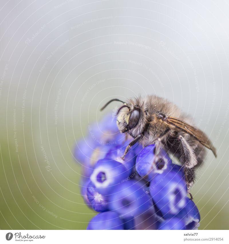 Wildbiene Umwelt Natur Frühling Pflanze Blume Blüte Traubenhyazinthe Frühblüher Tier Biene Tiergesicht Flügel Insekt 1 Blühend Duft Farbfoto Außenaufnahme