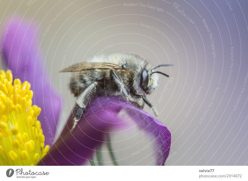 kleines Pause Umwelt Natur Frühling Pflanze Blume Blüte Wildpflanze Kuhschelle Garten Tier Wildtier Biene Insekt wildbiene 1 natürlich niedlich weich gelb grau