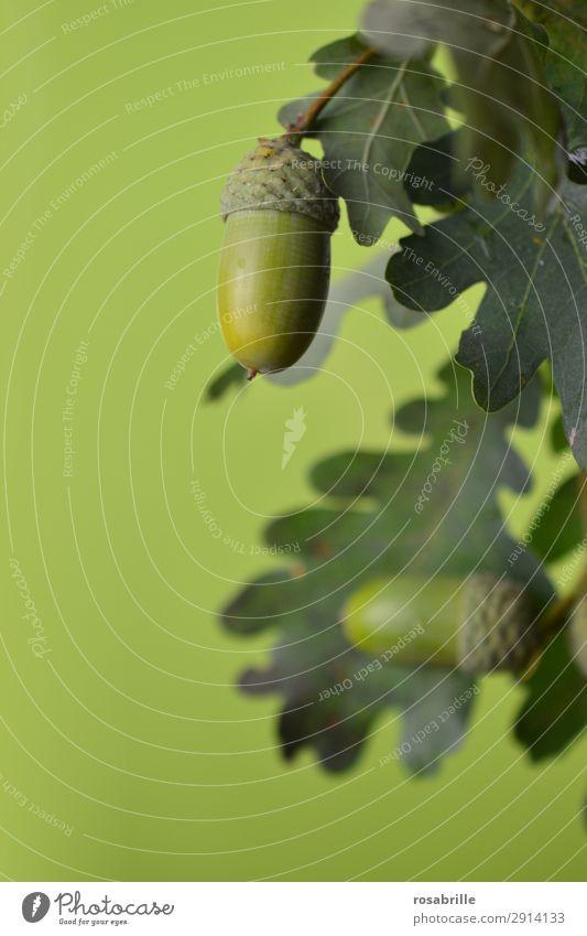 grüne Eicheln 6 Frucht Sommer Umwelt Natur Pflanze Herbst Baum Blatt Feld hängen Wachstum natürlich rund achtsam Eichenblatt Ast Zweig reif unreif Jahreszeiten