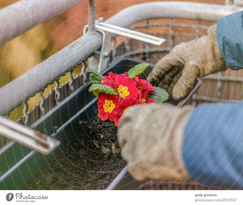 Balkonpflanze - Primel Natur Jugendliche Sommer Pflanze schön rot Hand Lifestyle Erwachsene Leben Umwelt Blüte Frühling Glück Zufriedenheit Freizeit & Hobby