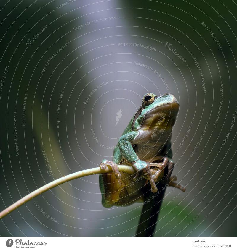 ein König grün Pflanze Tier hängen Frosch hocken Astgabel